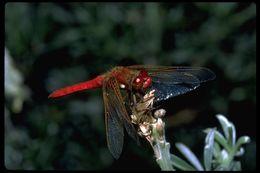 Image of Cardinal Meadowhawk