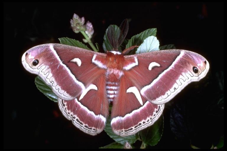 Image of Ceanothus Silkmoth