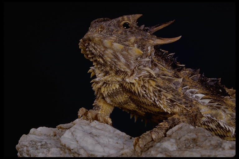 Image of San Diego Horned Lizard