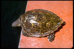 Image of Atlantic hawksbill turtle