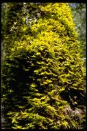 Image of dendroalsia moss