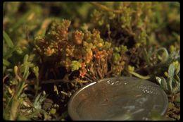 Image of sand pygmyweed