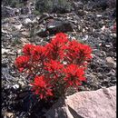 Image of northwestern Indian paintbrush