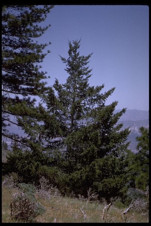 Image of bigcone Douglas-fir