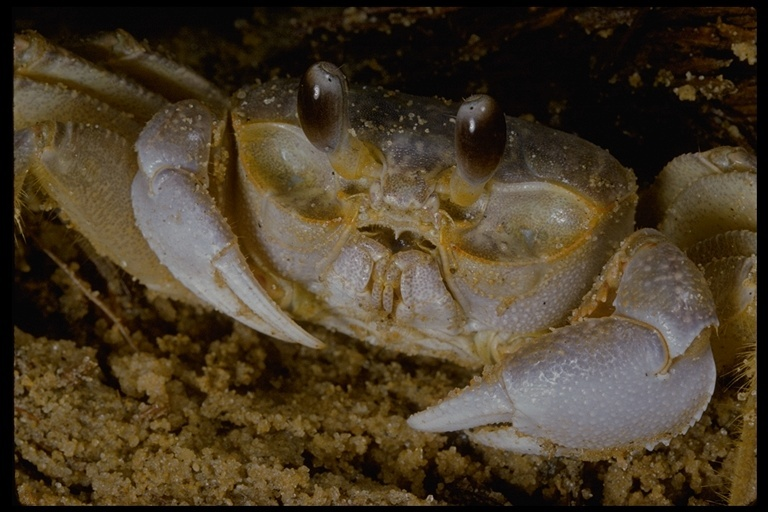 Image of decapods