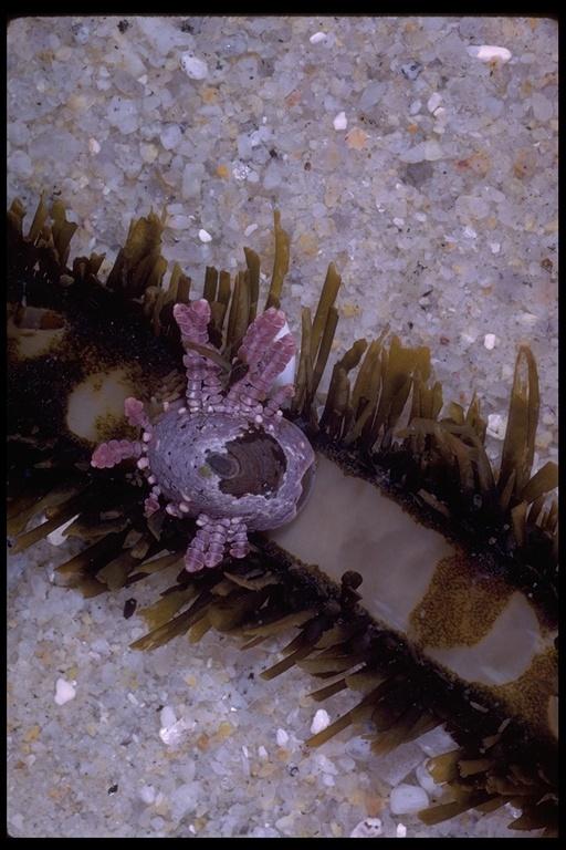 Image of seaweed limpet