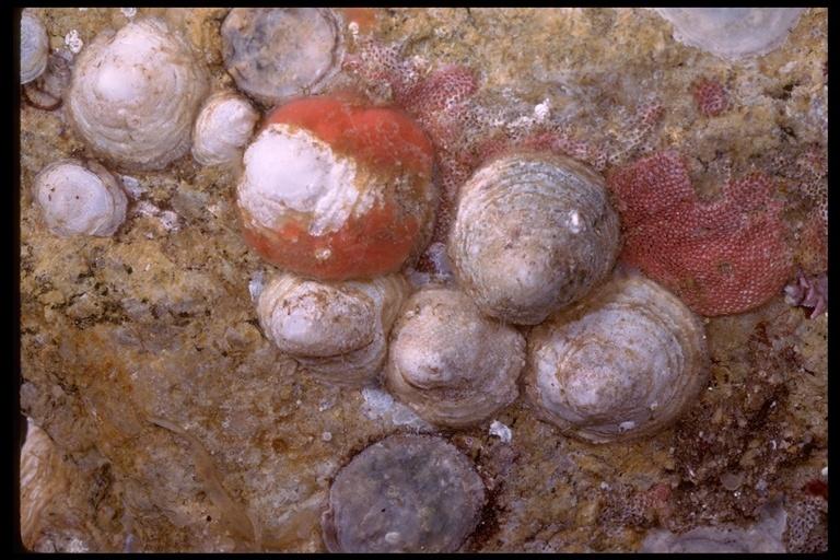 Image of <i>Hipponix cranioides</i> Carpenter 1864