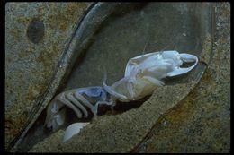 Image of bay ghost shrimp