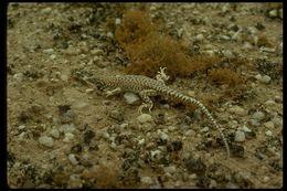 Image of Reticulate Sand Lizard