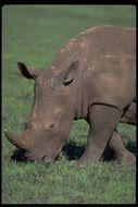 Image of White Rhinoceros