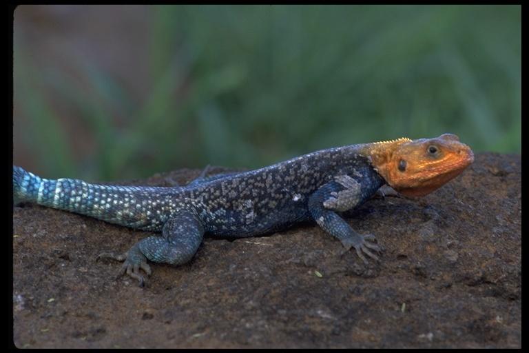 Image of Kenya Rock Agama
