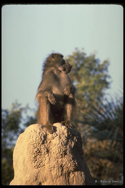 Image of Chacma Baboon