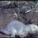 Image of Naked Mole-rat