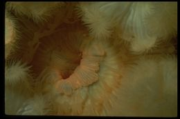 Image of brown sea anemone