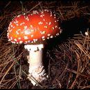 Image of <i>Amanita <i>muscaria</i></i> var. muscaria