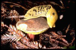 Image of <i>Ariolimax columbianus</i> (Gould 1851)