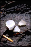 Image of Guepiniopsis