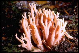 Image of Magenta coral