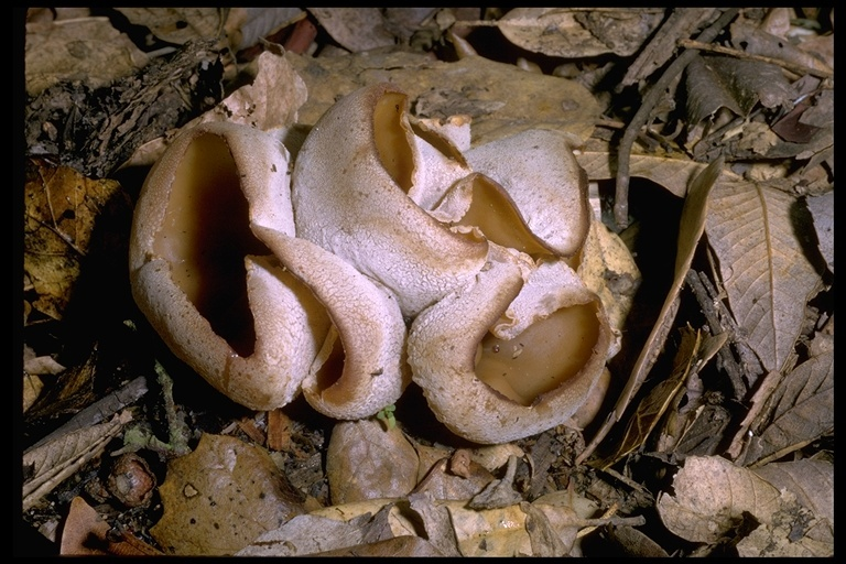 Image of <i>Peziza vesiculosa</i> Bull. 1790