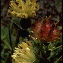 Image of bull clover