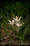Image of common starlily