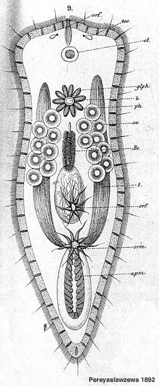 Image of <i>Convoluta albomaculata</i> (Pereyaslawzewa 1892)