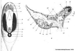 Image of <i>Convoluta boehmigi</i>