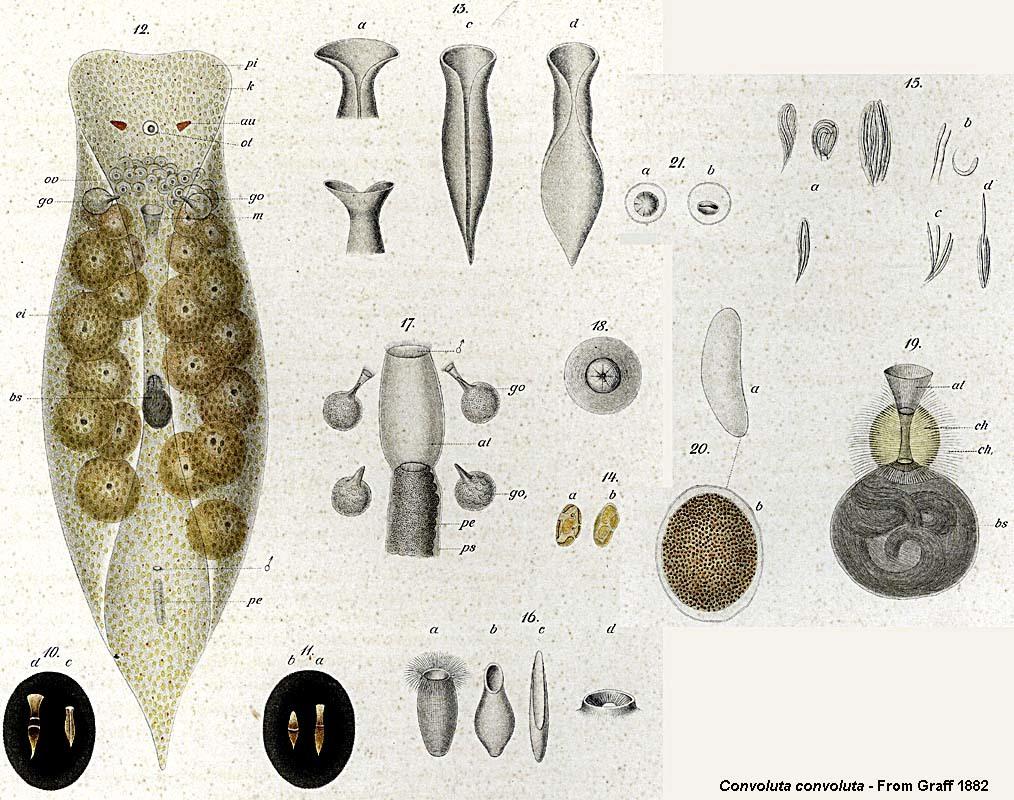 Image of <i>Convoluta convoluta</i>