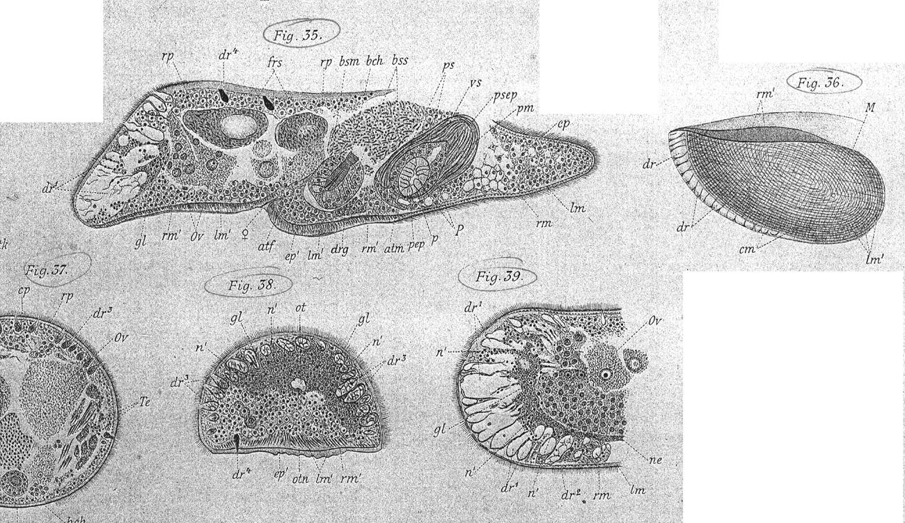 Image of <i>Convoluta henseni</i> Bohmig 1895