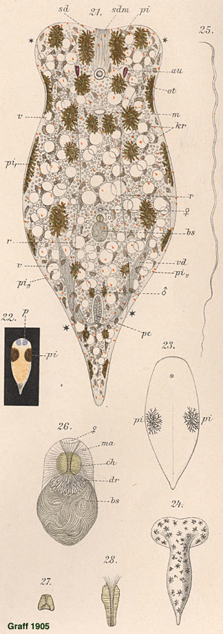 Image of <i>Convoluta hipparchia</i>