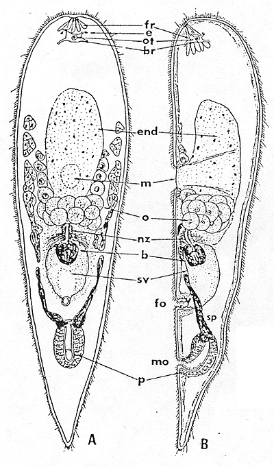 Image of <i>Convoluta kikaiensis</i> Yamasu 1982