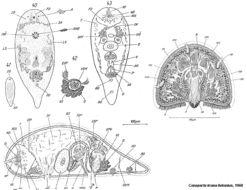 Image of <i>Convoluta krana</i>