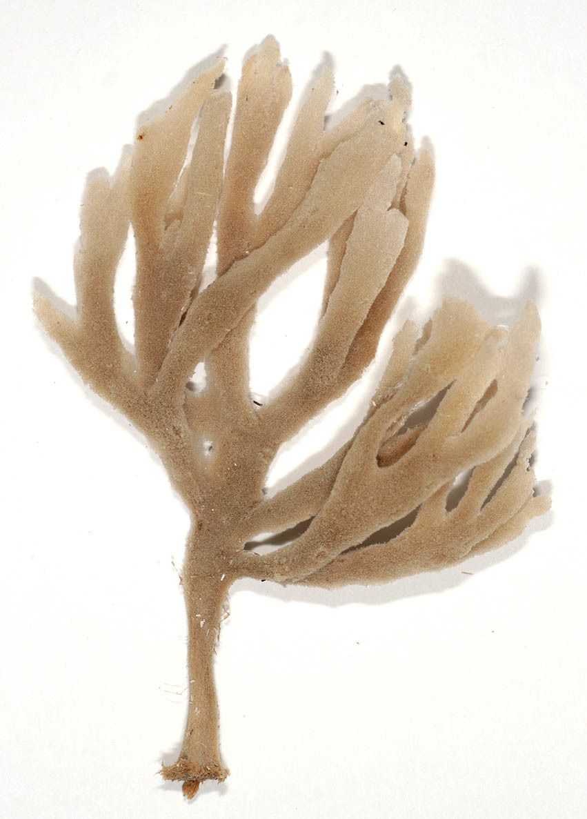Image of <i><i>Haliclona</i></i> (Haliclona) <i>oculata</i> (Linnaeus 1759)