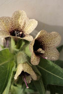 Image of Henbane