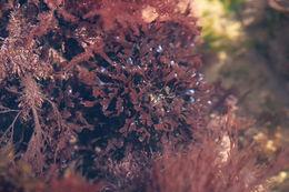 Image of <i>Mastocarpus stellatus</i>