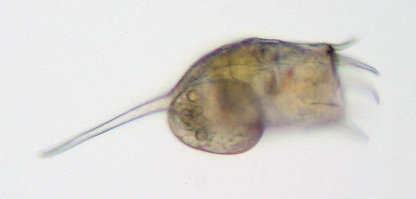 Image of <i>Keratella cochlearis</i> ssp. <i>robusta</i> (Lauterborn 1900)