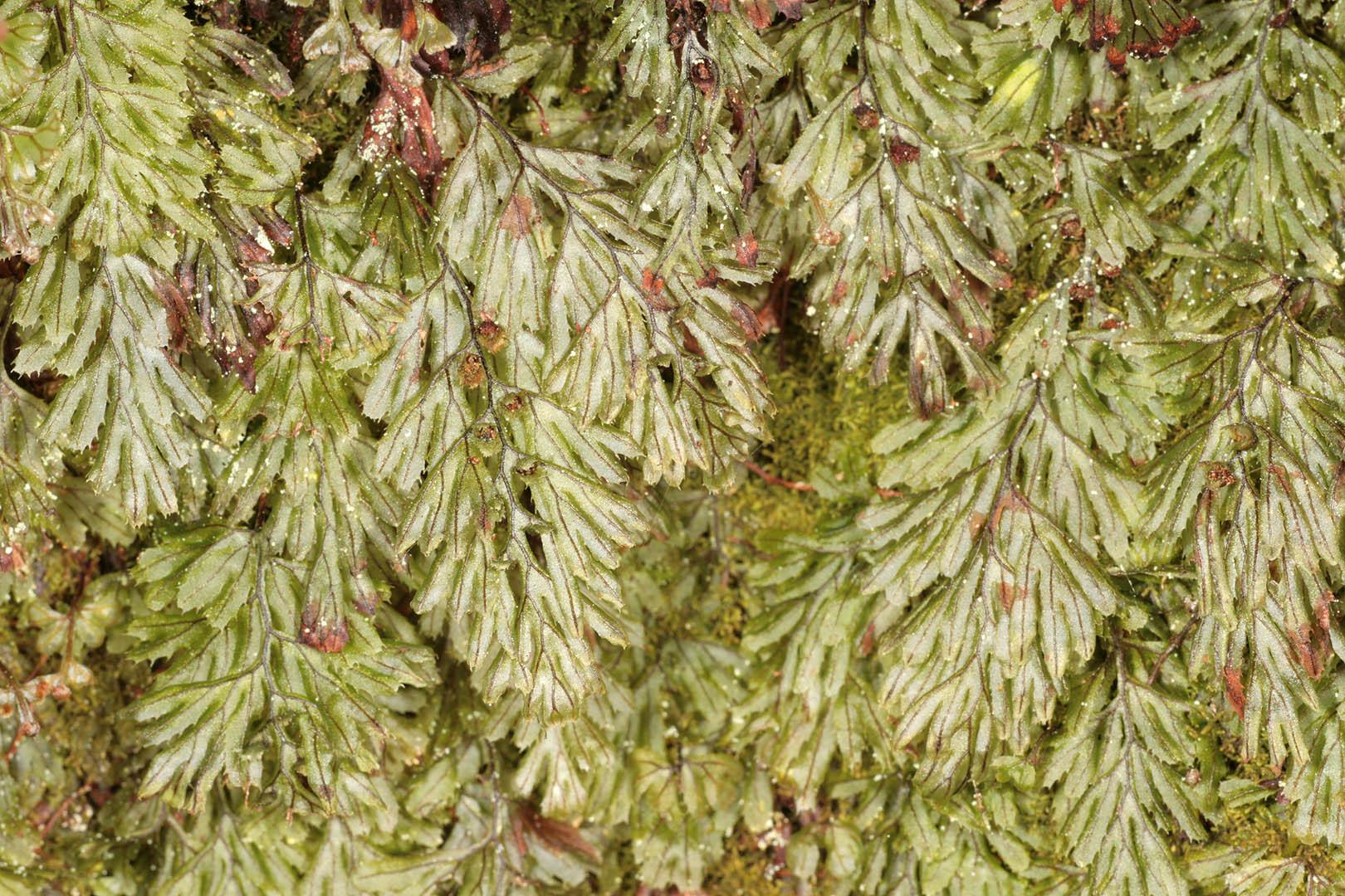 Image of Tunbridge filmy fern