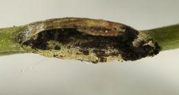 Image of <i>Urocystis ficariae</i> (Liro) Moesz 1950