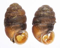 Image of Moss Chrysalis Snail