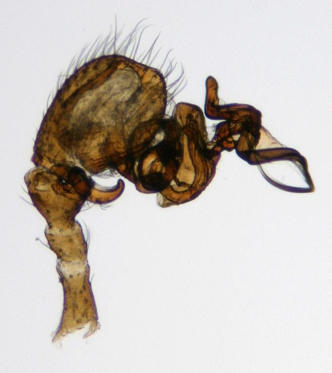 Image of <i>Gongylidium rufipes</i> (Linnaeus 1758)