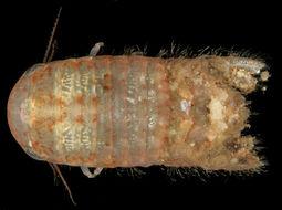 Image of <i>Cymodoce truncata</i> Leach 1814