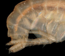 Image of <i>Gammarella fucicola</i> (Leach 1814)