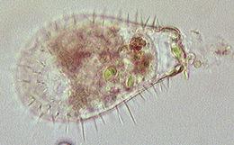 Image of <i>Euglypha ciliata</i>