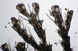 Image of <i>Cradoscrupocellaria reptans</i> (Linnaeus 1758)