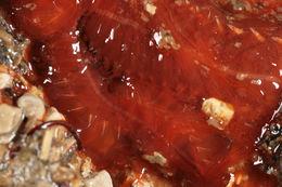 Image of <i>Terebellides stroemi</i>
