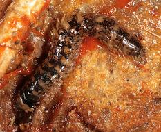 Image of <i>Malmgreniella lunulata</i>