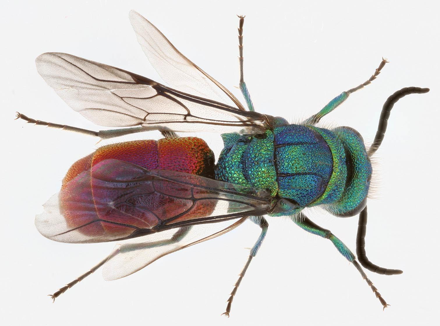 Image of <i>Chrysis angustula</i>