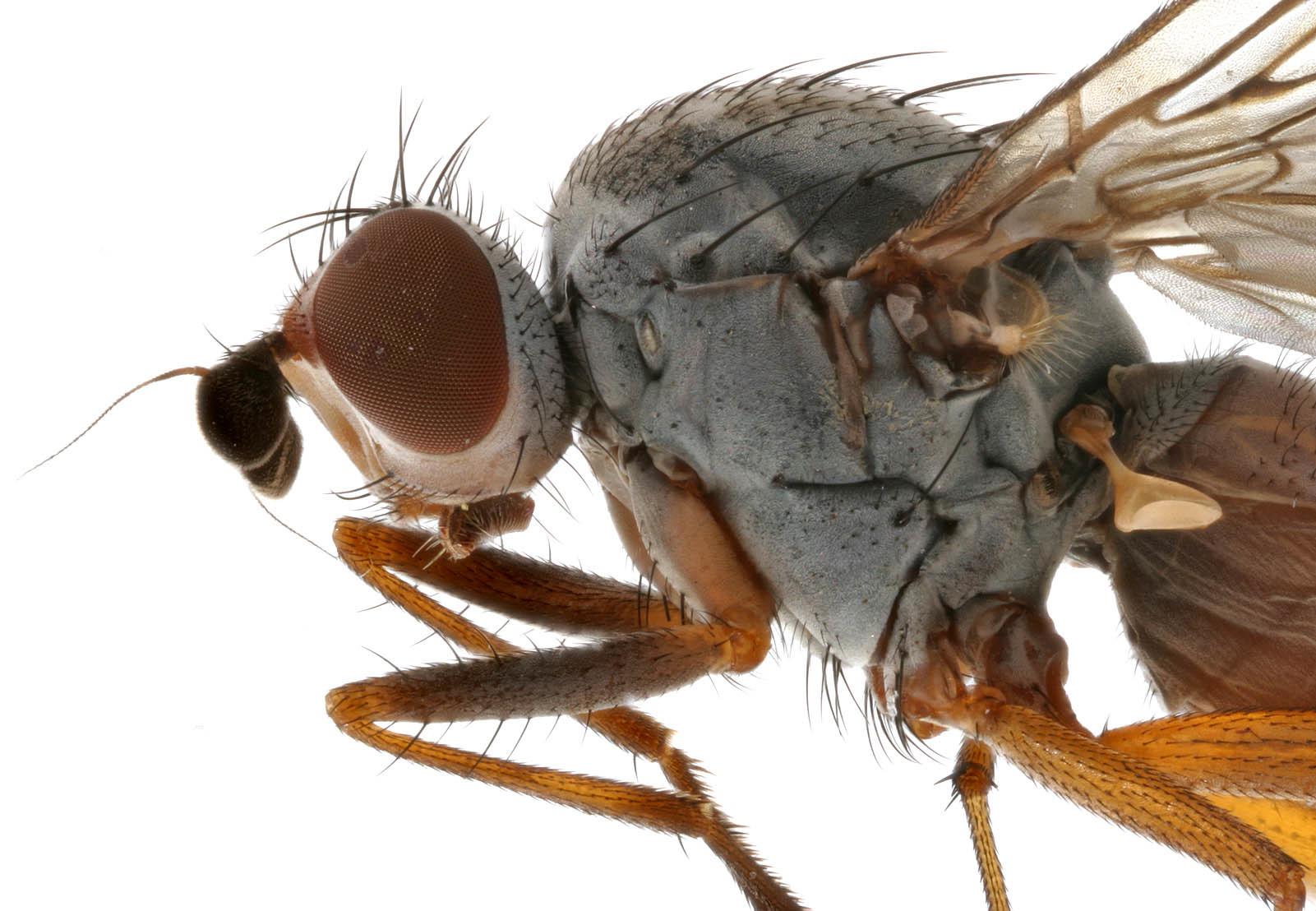 Image of <i>Heteromyza rotundicornis</i> (Zetterstedt 1846)