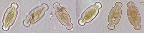 Image of Navicula