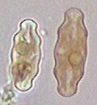 Image of <i>Pinnularia mesolepta</i>